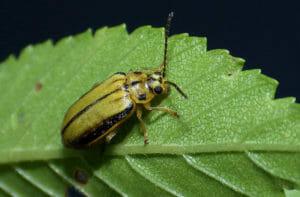 Elm leaf beetle on leaf