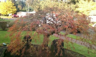 Trimming Japanese Maple in Portland