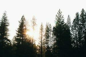 Trimming Pine Trees