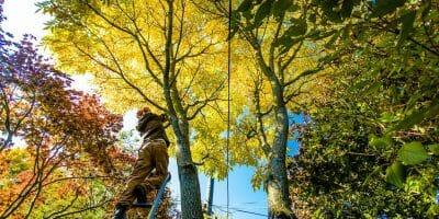 Arborist performing fall tree care on trees