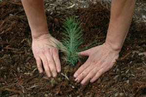 Certified Arborist planting trees