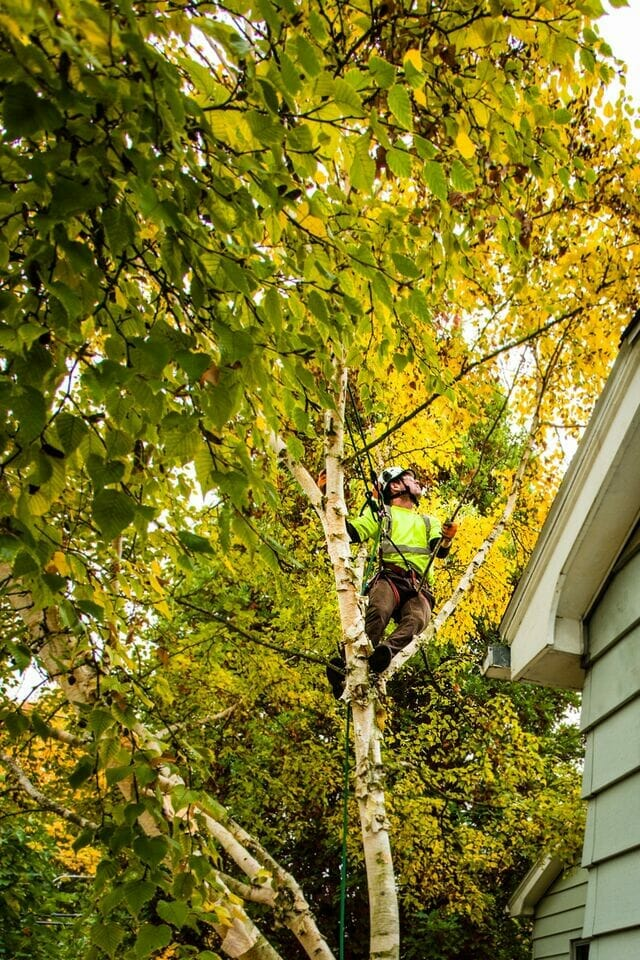 Arborist trimming tree branches over roof