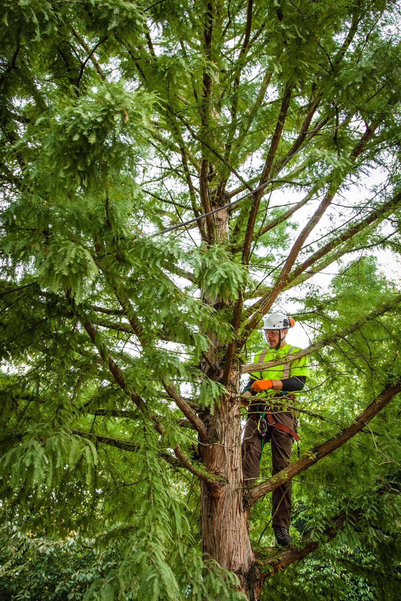 Certified Arborist Tree Cabling