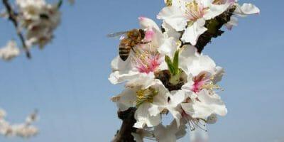 bee pollinating tree blossom