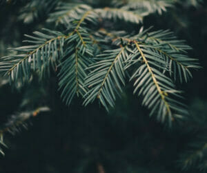 evergreen diseases tree health guide portland urban forest pro