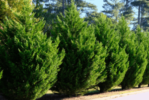 fast growing leyland cypress trees urban forest pro