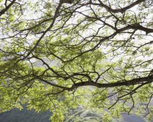 horizontal tree limb sudden limb drop urban forest pro