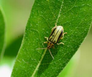 leaf diseases and bugs elm leaf beetle portland arborist urban forest pro