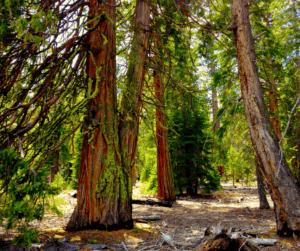sugar pine trees urban forest pro