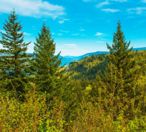 types of oregon pine trees urban forest pro